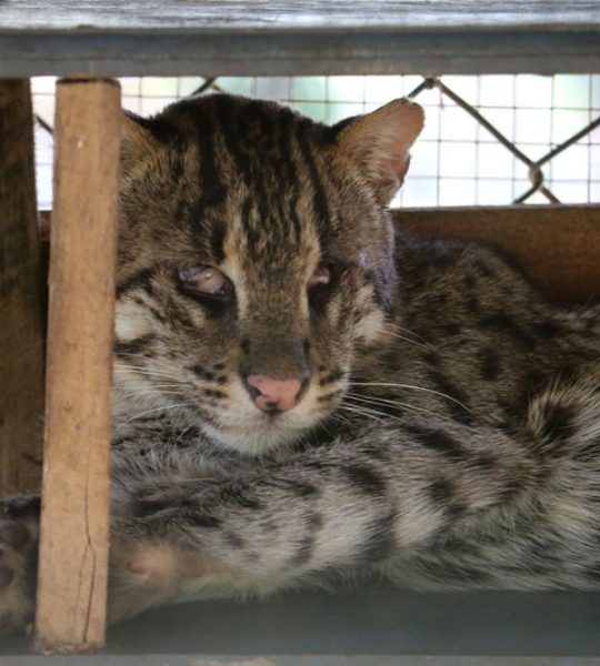 Blind fishing cat in rescue facility