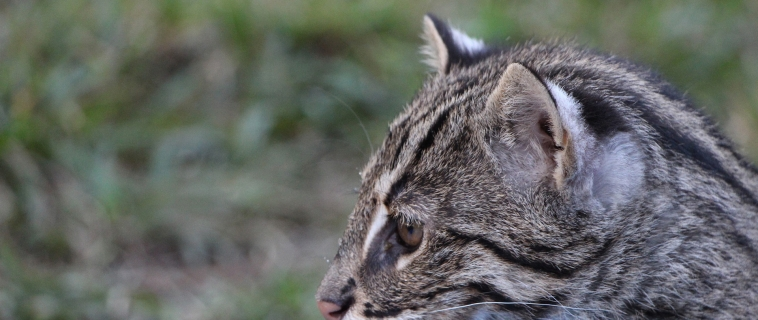 Fishing cats and their distinctive features