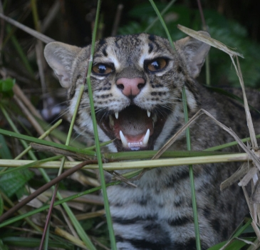 Saving Fishing Cat From Animal Snare Trap